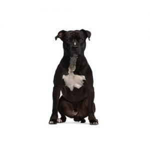 American Staffordshire Terrier Puppies - Petland Knoxville