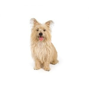 cairn terrier puppies petland knoxville