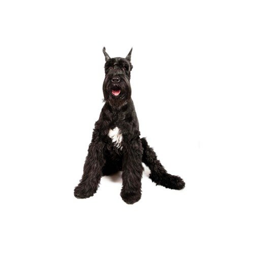 Giant Schnauzer Puppies - Petland Knoxville