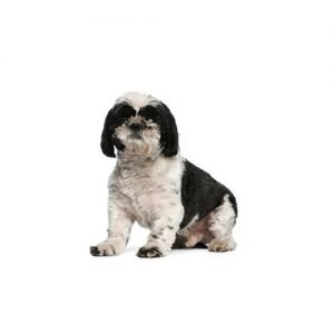 Shih Tzu Puppies - Petland Knoxville