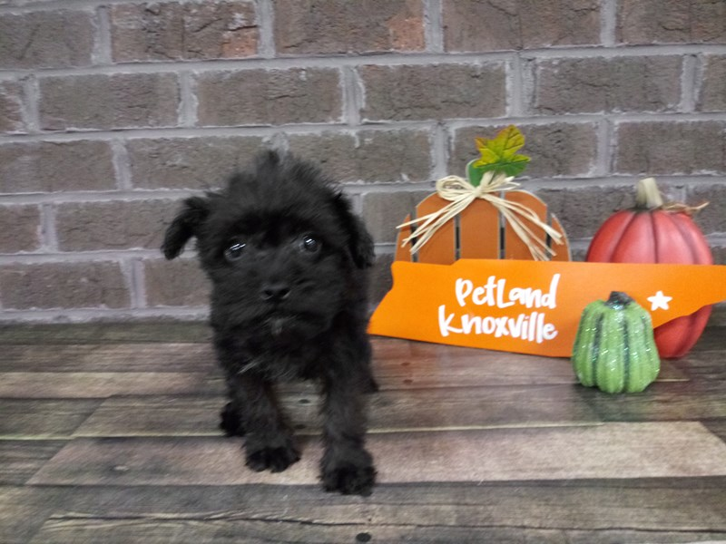 Schnoodle-Female-RUST-2476370-Petland Knoxville