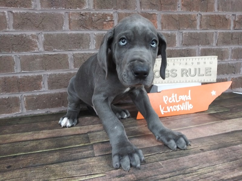 Great Dane-Male-Gray-2516326-Petland Knoxville