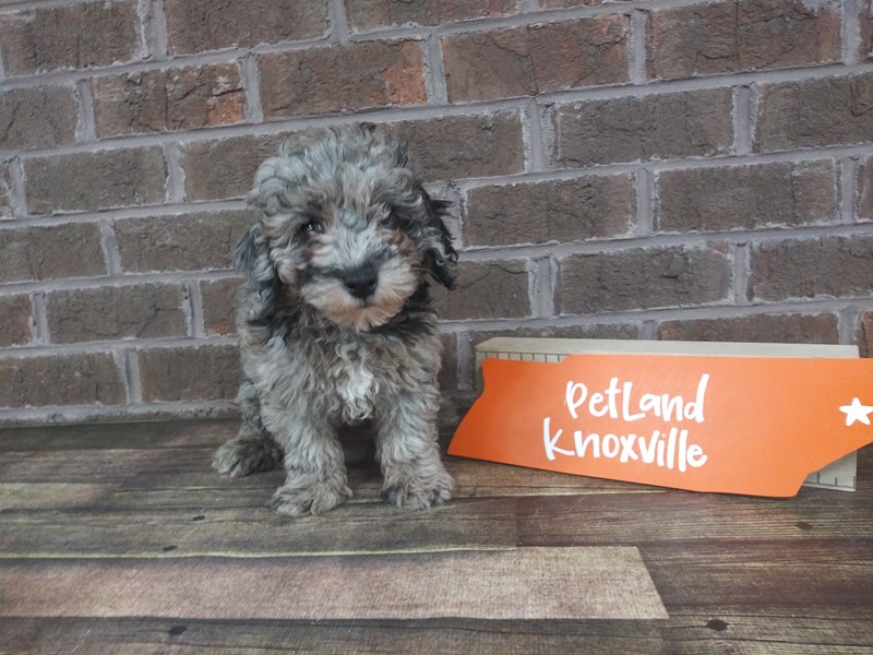 Miniature Poodle-Male-BLUE MERLE-2523472-Petland Knoxville