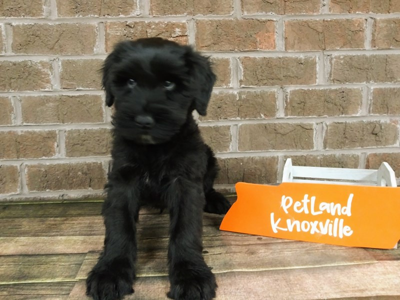 Giant Schnauzer-Male-Black-2530537-Petland Knoxville