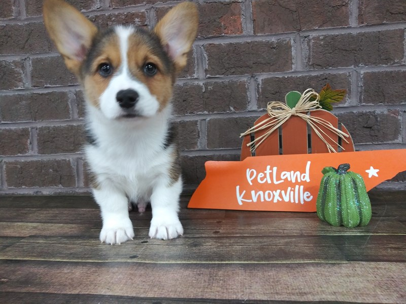 Pembroke Welsh Corgi-Male-Tri-Colored-2507104-Petland Knoxville