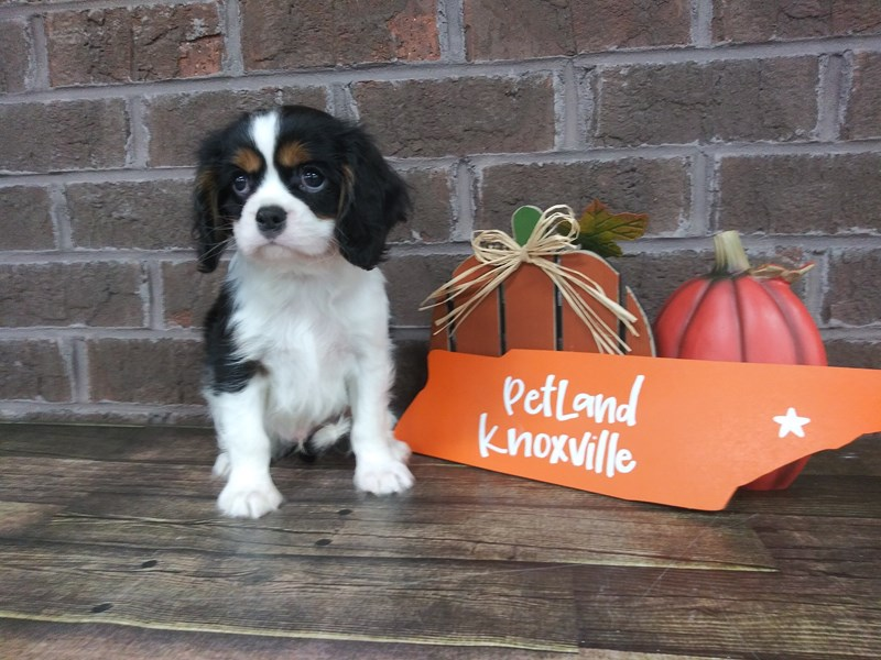 Cavalier King Charles Spaniel-Male-TRI-2509641-Petland Knoxville