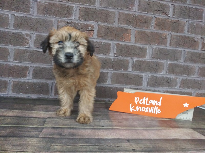 Soft Coated Wheaten Terrier-Female-Wheaton-2523406-Petland Knoxville