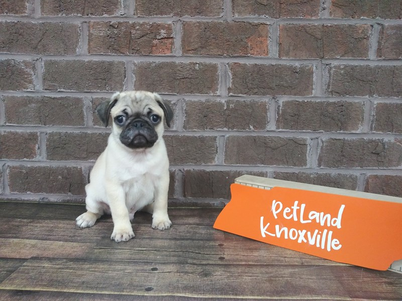 Pug-Male-fawn-2523558-Petland Knoxville