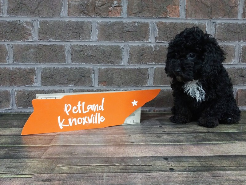 Miniature Poodle-Male-BLACK-2516288-Petland Knoxville