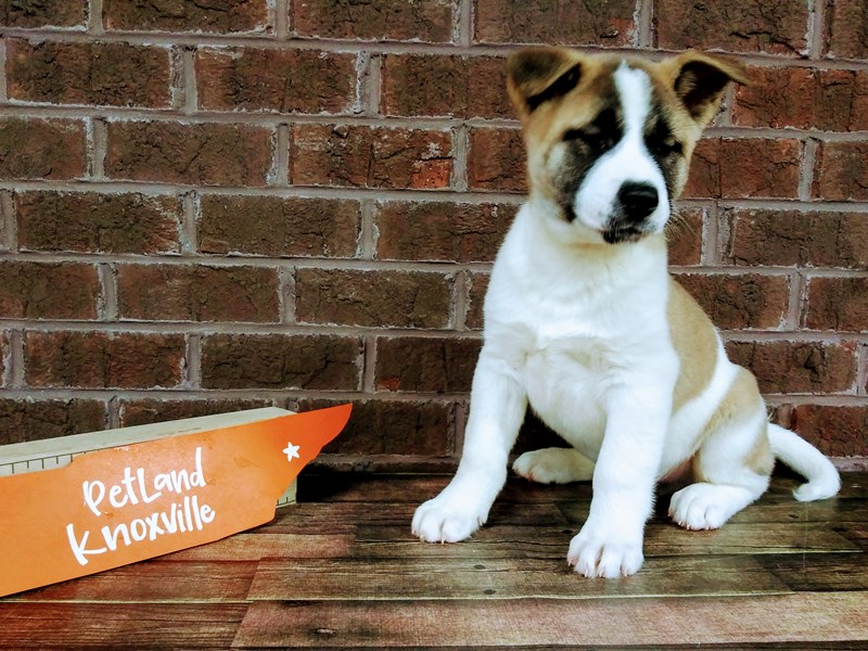 Akita-Male-Brown / White-2534123-Petland Knoxville