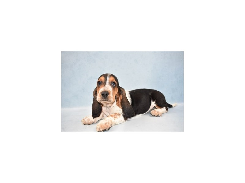 Basset Hound-Male-Black White and Tan-2537749-Petland Knoxville