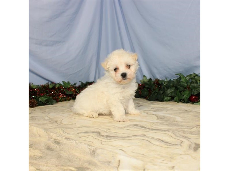 Maltese-Male-White-2539949-Petland Knoxville