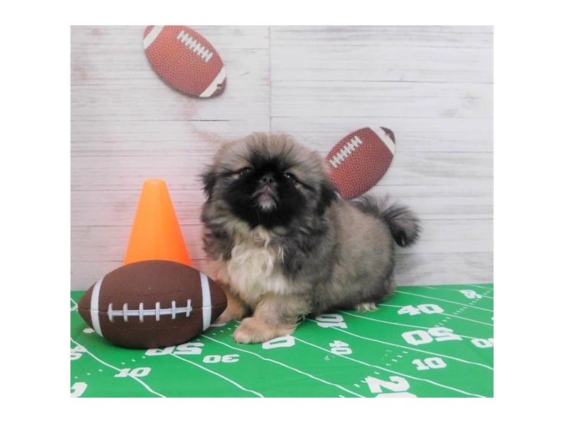 Pekingese-Male-Sable-2539951-Petland Knoxville