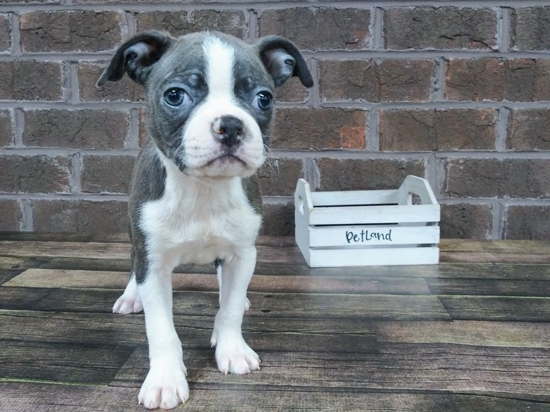 Boston Terrier-Female-BLUE WH-2537465-Petland Knoxville