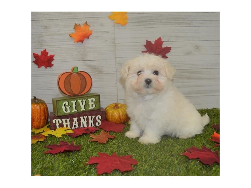 Maltipoo-Male-Cream-2545496-Petland Knoxville