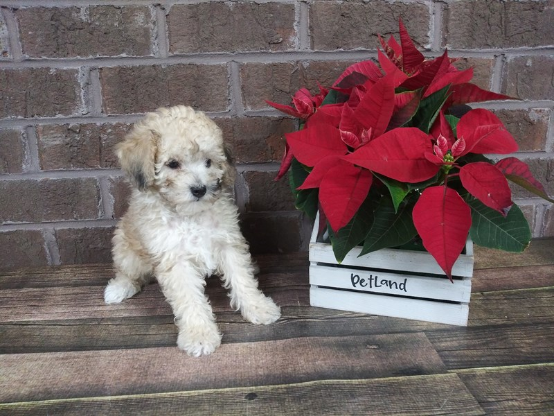 Poodle-Male-BROWN-2542980-Petland Knoxville