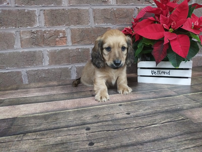 Dachshund-DOG-Male-RED-2543650-Petland Knoxville