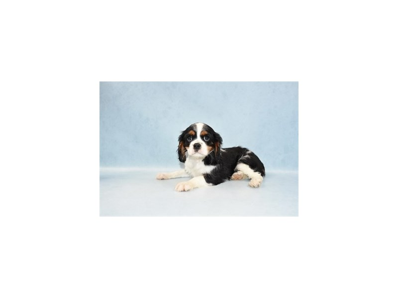 Cavalier King Charles Spaniel-Female-Black and White-2555194-Petland Knoxville
