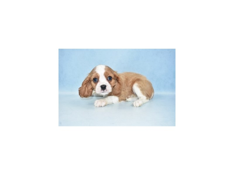 Cavalier King Charles Spaniel-Female-Blenheim-2562801-Petland Knoxville