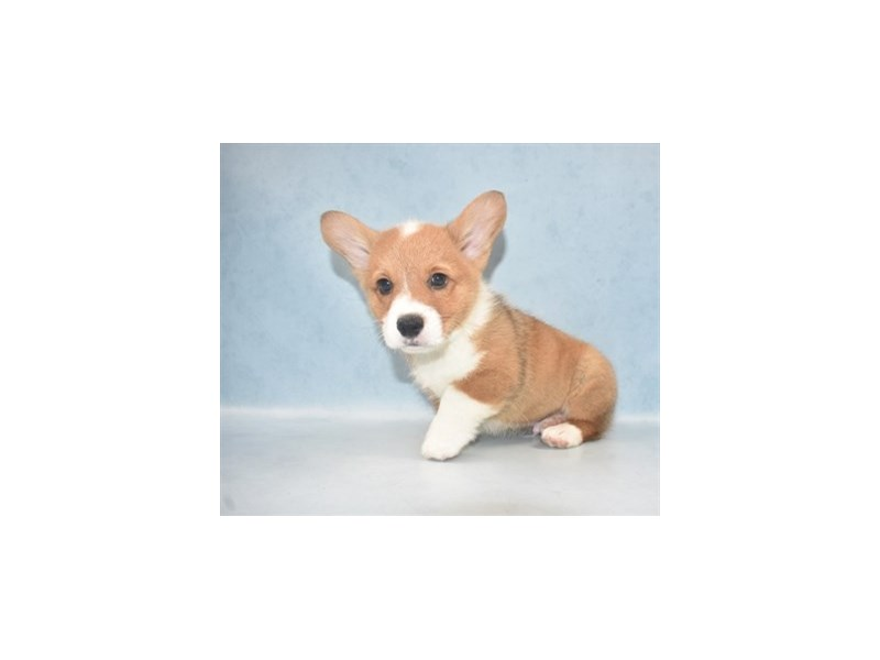 Pembroke Welsh Corgi-Male-Sable-2562832-Petland Knoxville