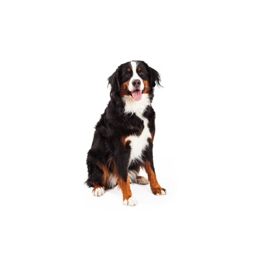 Bernese Mountain Dog Puppies Petland Knoxville
