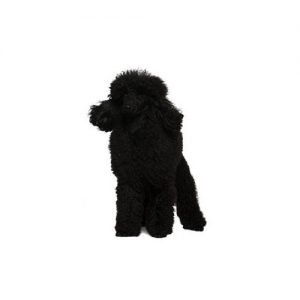 Poodle Puppies Petland Knoxville