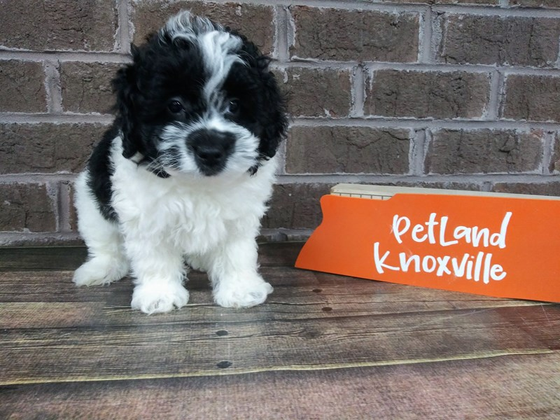 Shih Poo-Male-BLK WH-2523157-Petland Knoxville