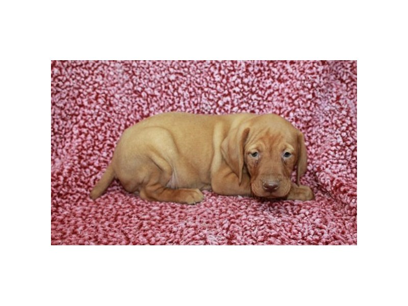Vizsla-Male--2540917-Petland Knoxville