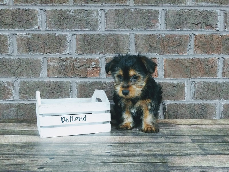 Yorkshire Terrier-Male-BLK TAN-2537189-Petland Knoxville