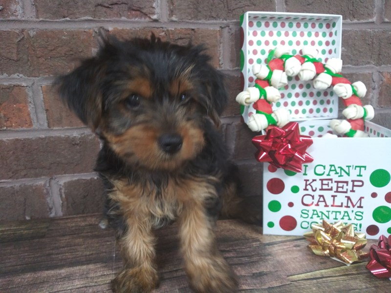 Yorkshire Terrier-Female-BLK TAN-2553616-Petland Knoxville