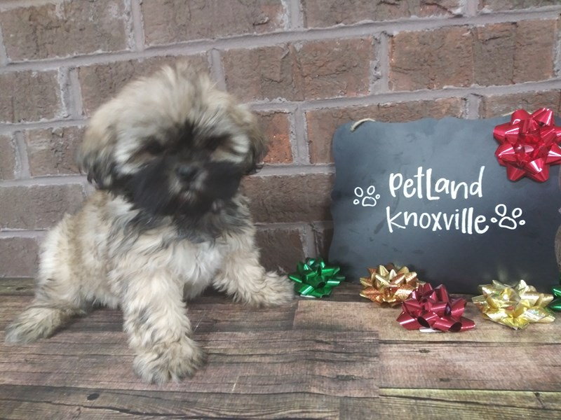 Lhasa Apso-Female-Goldn-2558391-Petland Knoxville