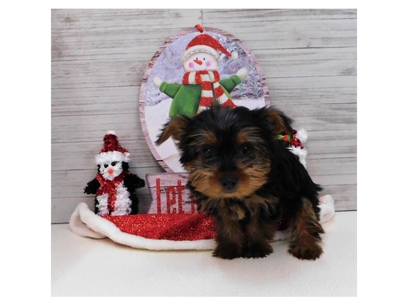 Yorkshire Terrier-Female-Black / Tan-2564292-Petland Knoxville