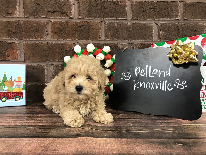 Poodle-Male-RED-2566708-Petland Knoxville