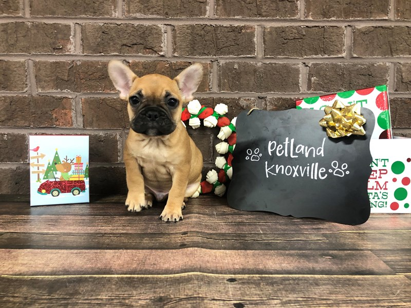 French Bulldog-Male-Fawn-2560961-Petland Knoxville