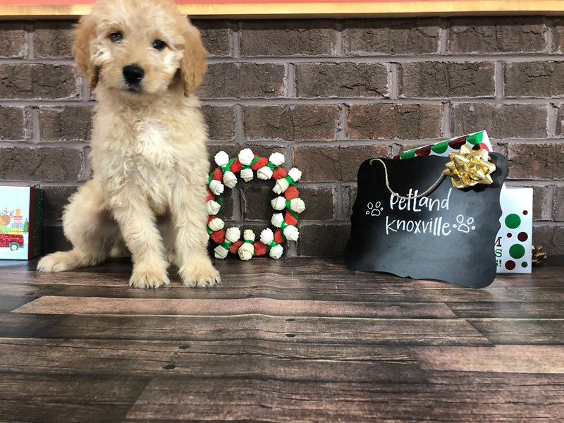 Goldendoodle Puppies Petland Knoxville