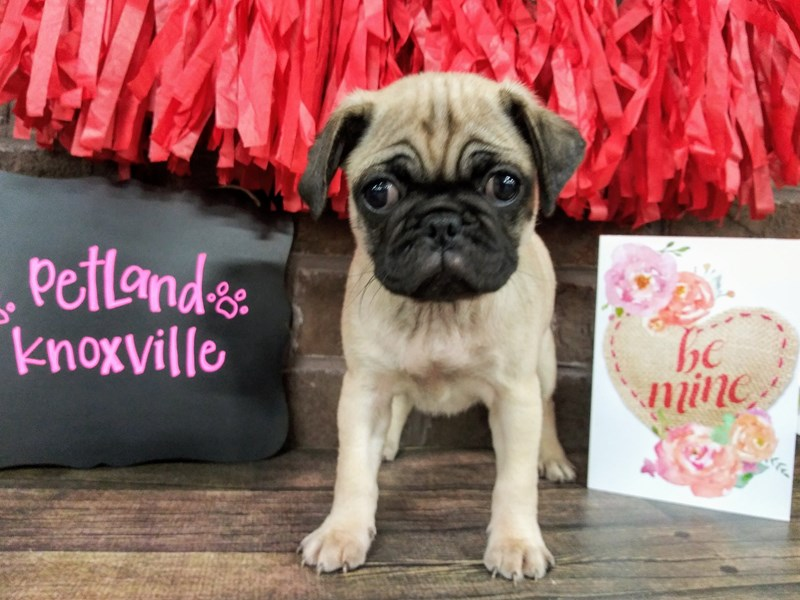 Pug-Female-FAWN-2571429-Petland Knoxville