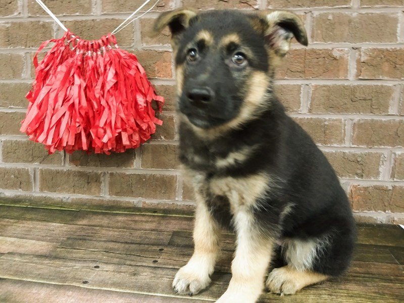 German Shepherd-Female-black tan-2571248-Petland Knoxville