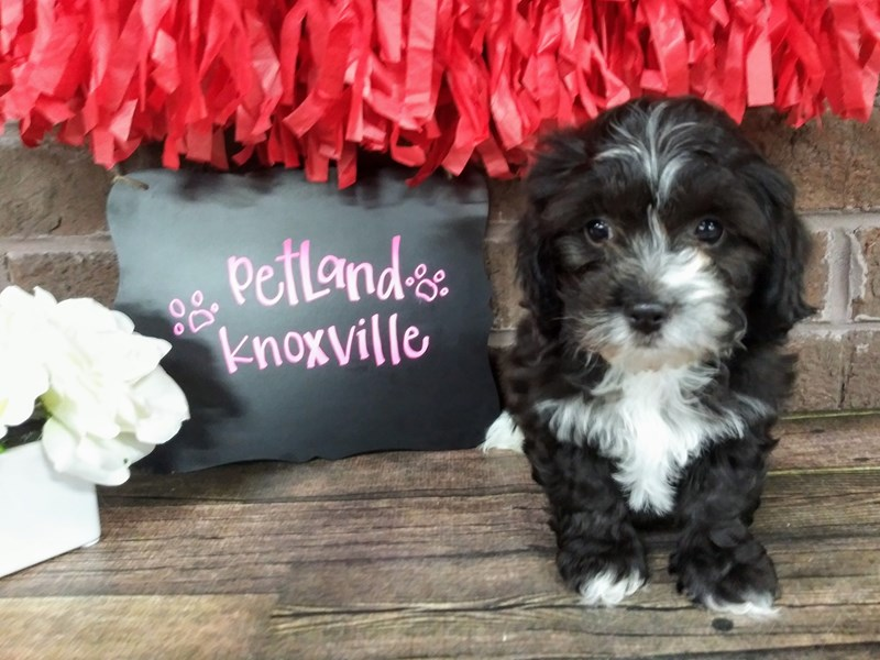 Shih Poo-Male-BLK WHITE-2588067-Petland Knoxville