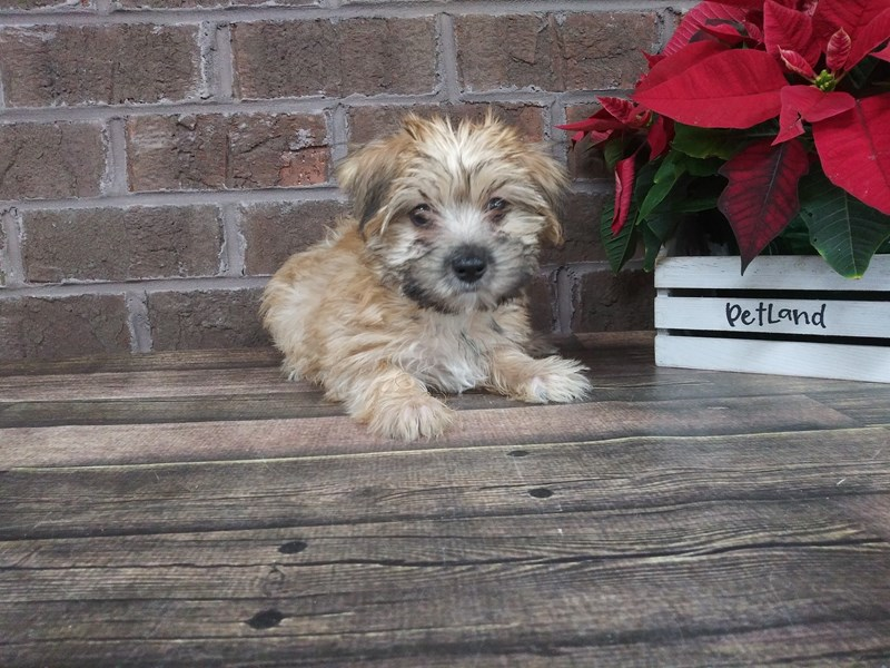Morkie-Female-BIEGE-2542961-Petland Knoxville