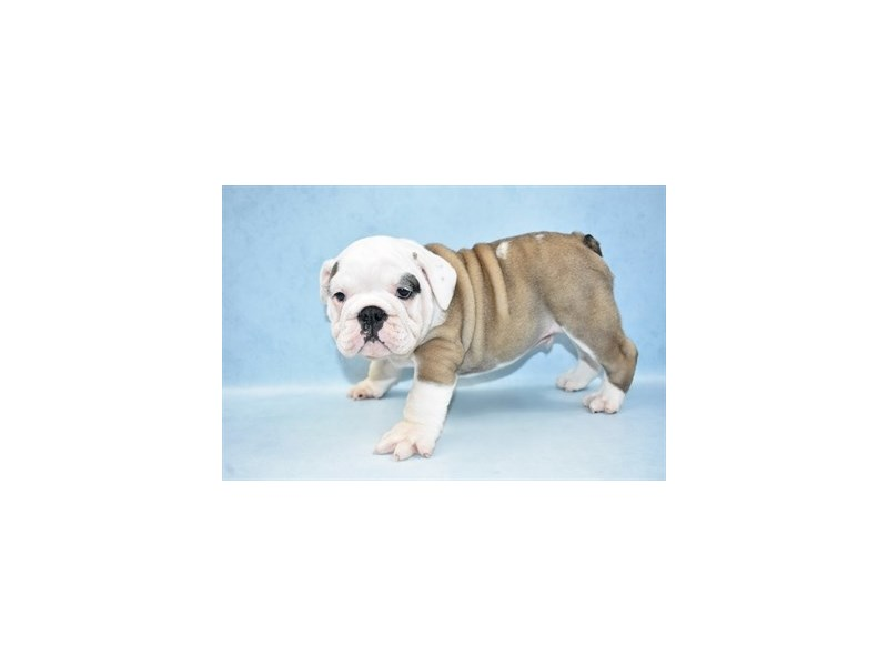 English Bulldog-Male-Red and White-2555375-Petland Knoxville