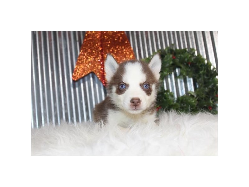 Siberian Husky-Male-Red / White-2558154-Petland Knoxville
