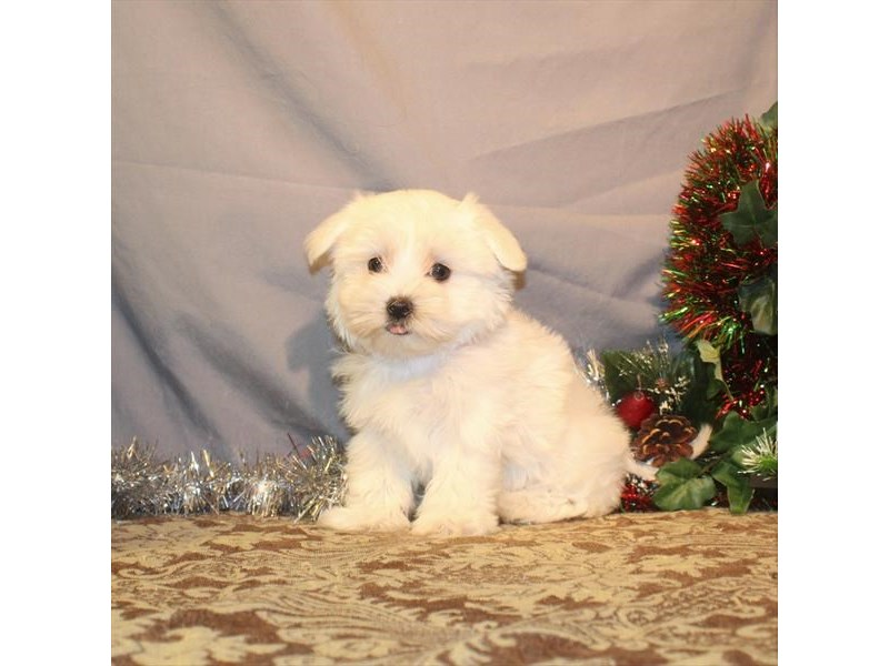 Maltese-Male-White-2564298-Petland Knoxville
