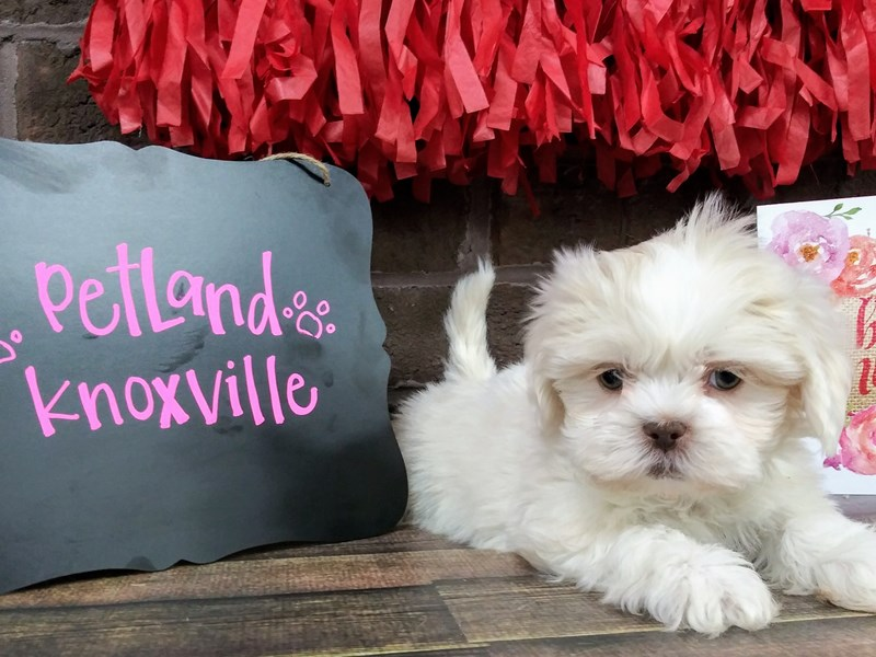 Teddy Bear-Female-CREAM  WHITE-2595561-Petland Knoxville