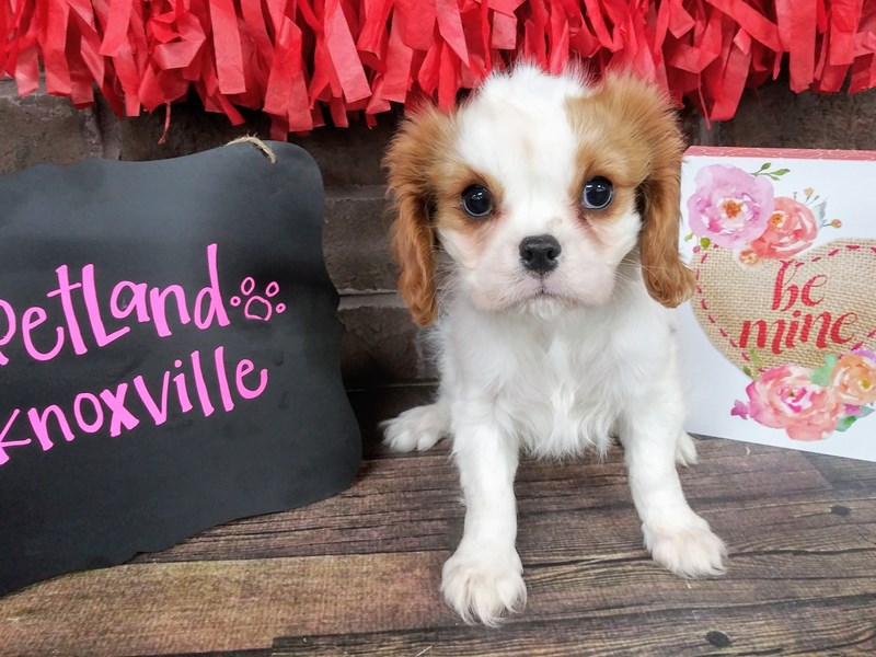 Cavalier King Charles Spaniel-Female-BLENHEIM-2595734-Petland Knoxville