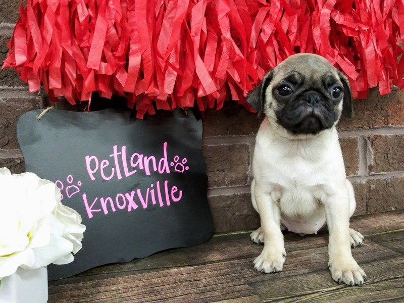 Pug-Female-Fawn-2596076-Petland Knoxville