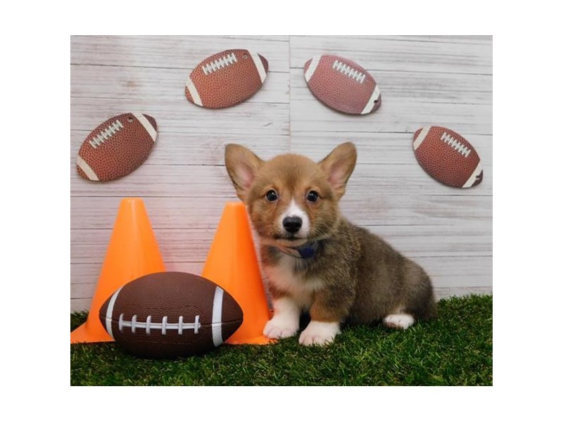 Pembroke Welsh Corgi-Male-Sbl/Wht-2607952-Petland Knoxville