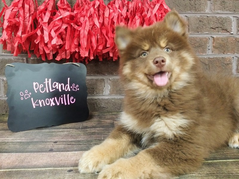 Pomsky-Male-choc and Tan-2595605-Petland Knoxville
