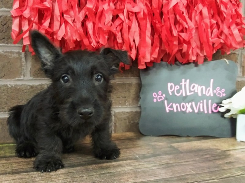Scottish Terrier-Male-BLACK-2603532-Petland Knoxville
