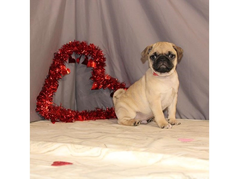 Pug-Male-Fawn-2614482-Petland Knoxville