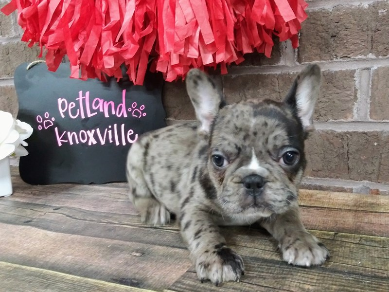 French Bulldog-Male-BLUE MERLE-2611038-Petland Knoxville